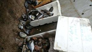 Çanakkale'de Kaçak Avlanan Balıklar İmha Edildi
