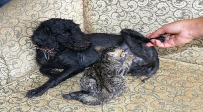 Köpek, yavru bir kediyi emzirip annelik yapıyor.