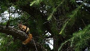 Troya Tarihi Milli Parkı'nda Yaralı Bulunan Yavru Sincaplar Tedavi Edildi