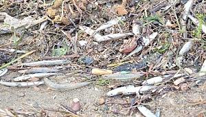 Çanakkale'de Karaya vuran gümüş balığı sürüsü martılara yem oldu
