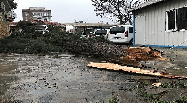 Şiddetli rüzgar ağaç devirdi