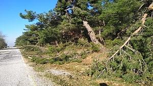 Kar yağışı ve rüzgarın etkisiyle onlarca çam ağacı devrildi
