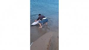 Çanakkale'de Sahile vuran yunus balığını kurtardı
