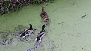 Avcılardan kurtarılan ördekler doğaya salındı