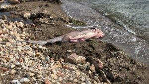 Çanakkale'de ölü altı solungaçlı köpek balığı kıyıya vurdu