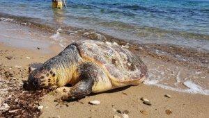 Edirne'de sahile ölü caretta caretta vurdu