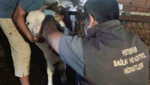 Gelibolu'da dişi buzağılara brusella aşısı yapılıyor