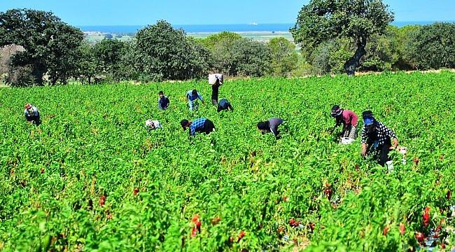 Çanakkale'de kapya biber hasadı sürüyor