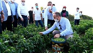 Turan, İşçilerle birlikte acı biber topladı.