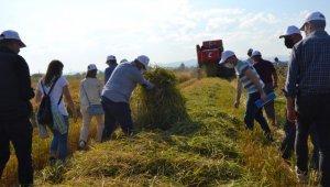 Biga'da damlama sulama ile yetiştirilen çeltikler hasat edildi