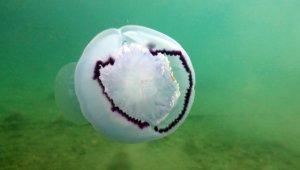 Deniz anaları kirli sahilleri temizleme noktasında doğal yardımcı