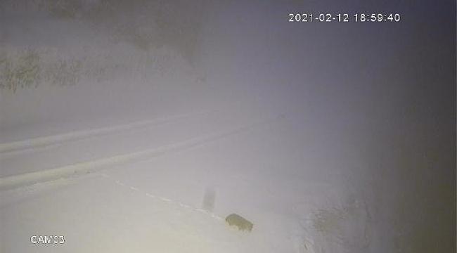 Sakarya'da aç kalan kurtlar yiyecek aradı