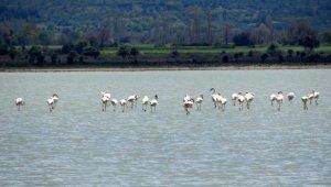 Çanakkale Savaşları'nın yaşandığı yarımada flamingoları ağırladı
