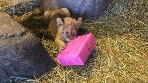 Yılın ilk yavru aslanları isimlerini seçti: 'Asya, Zoya'