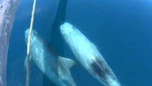 Kılıç balığı avında boz yunusları görüntülediler
