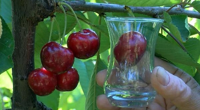 Turkey's 'Lapseki Giant' cherries are eaten by the British Royal Family: Farmers say